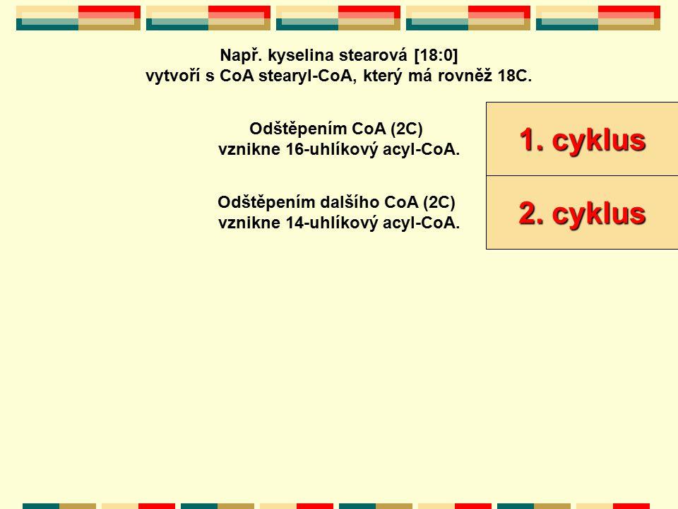 1. cyklus 2. cyklus Např. kyselina stearová [18:0]